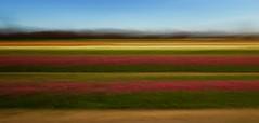 Tulips (Mannington Creek) Tags: flowers tulips farm new jersey hollandridgefarm fields spring rural country