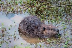Georgia Beaver (Jon Ariel) Tags: beaver animal wildlife swamp gwinnett gwinnettcounty georgia northgeorgia