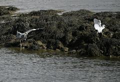 _DSC2108 (rdspalm) Tags: birds birdwatching inch nikond850 irishbirds