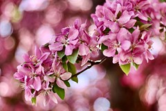 Spring Dream (starborn-alchemy) Tags: flower flowers blossom blossoms crabapple bloom blooms spring bokeh nature tree flagstaff arizona pink leaves