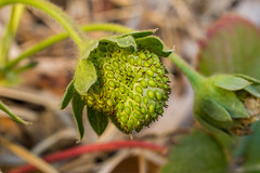 Green Strawberry (thomas.hartmann496) Tags: photo spring natural sharp berry closeup growing leaf young garden seeds plant photograph macro picture grow gardening nature plants leaves green fresh fruit seed strawberry