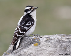 Downy Woodpecker (Steve Dickson Photography) Tags: downy woodpecker