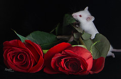 Bed of Roses (Rainfire Photography) Tags: mouse pet photography apocalypse red roses albino portrait nikon