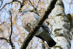 Palombe (Pigeon ramier) 2 (jean-daniel david) Tags: oiseau nature réservenaturelle volatile closeup grosplan yverdonlesbains arbre forêt branche bokeh ciel contreplongée