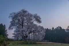 SAKURA 2018 #7 (applephoto*) Tags: 戸津辺の桜 桜 福島県 一本桜 cherryblossoms fukushima totsubecherrytree landscape japan 2018