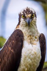The Stare (Vic Zigmont) Tags: birds osprey raptor portrait