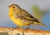 Canário-da-terra (Degu SASF) Tags: brasilia brasil brazil df distrito federal aves ave birds bird