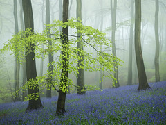 I am the Resurrection (Damian_Ward) Tags: ©damianward damianward bluebells hyacinthoidesnonscripta beech commonbluebell trees chilterns chilternhills thechilterns fog mist oxfordshire wood forest woodland