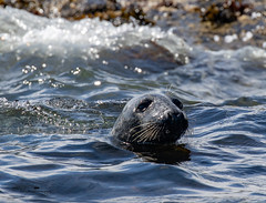 Grey Seal (Ratters1968: Thanks for the Views and Favs:)) Tags: canon dslr photography digital eos canon7dmk2 martynwraight ratters 1968 wildlife birds animal flight flying nature beauty northumberland farnefarneislandswildlifenaturenationaltrustinnerfarne seal grey greyseal