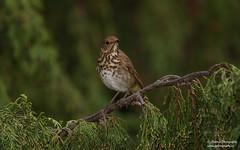 Hermit Thrush (salmoteb@rogers.com) Tags: bird wild outdoor nature wildlife hermit thrush songbird canada toronto ontario perch tree
