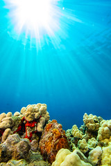 frogfish2Mar29-18 (divindk) Tags: antennariuscommerson camouflage commersonsfrogfish hawaii hawaiianislands malaramp maui places underwater color diverdoug frogfish marine ocean reef sea sunrays sunburst underwaterphotography