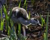 Discovery (MrBlueSky*) Tags: egyptiangosling gosling bird animal nature outdoor water colour kewgardens royalbotanicgardens london pentax pentaxart pentaxlife pentaxawards pentaxflickraward pentaxk1mkii aficionados