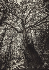 """fine art black & white: just past Manoir du Parc on the Chemin des Bruyeres this fine old tree dominates the road as it vanishes to  point. Near Honfleur, Calvados, Normandy, France (grumpybaldprof) Tags: honfleur normandy normandie france calvados d62 """"chemindesbruyeres"""" """"manoirduparc"""" d279 road route rue tree branches vanishingpoint """"côtedegrâce"""" equemauville bw blackwhite """"blackwhite"""" """"blackandwhite"""" noireetblanc monochrome """"fineart"""" ethereal striking artistic interpretation impressionist stylistic style contrast shadow bright dark black white illuminated walk walking spring sun sunshine detail details canon 70d """"canon70d"""" sigma 1020 1020mm f456 """"sigma1020mmf456dchsm"""" """"wideangle"""" ultrawide landscape"""