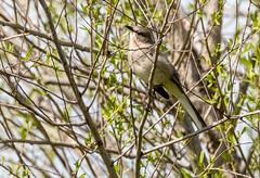 Northern Mockingbird (Stephen R. D. Thompson) Tags: wilsonparkandwildlifereserve california locations nature stcphotography stephen r d thompson 2018 usa lincoln stephenrdthompson