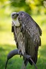 Okay, vultures has got a bad reputation.. (http://www.paradoxdesign.nl) Tags: vulture bird prey animal predator vogel roofvogel nature wildlife