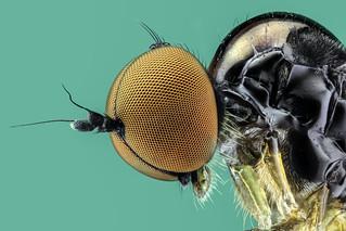 Hybotidae Buckeltanzfliege / hump dance fly