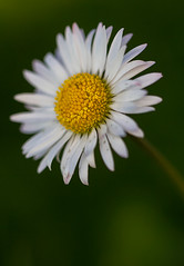 Margarita (cruzjimnezgmez) Tags: silvestres petalos natural naturaleza margarita flor