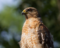 IMG_3515A Red-shouldered Hawk (cmsheehyjr) Tags: cmsheehy colemansheehy nature wildlife bird hawk redshoulderedhawk virginia buteolienatus raptor