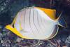 Yellowhead Butterflyfish - Chaetodon xanthocephalus (zsispeo) Tags: actinopterygii chaetodonlinnaeus1758 chaetodontidae heniochus laréunion osteichthyens perciformes teleostei monoceros xanthocephalus