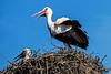 Weißstorch - White stork (Rolf Piepenbring) Tags: storks stork störche storch safariparkbeeksebergen nederland netherlands niederlande weisstorch klapperstorch whitestork ciconiaciconia ooievaar cigüeñablanca