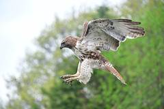 Red Tail in Flight (Ol' Mr Boston) Tags: 2018 bird boston buteojamaicensis d7500 fens hawk redtailedhawk victorygardens