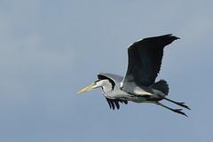 Heron 16 (PARMAR2009) Tags: heron norfolk broads water flying flight grey large bird uk british