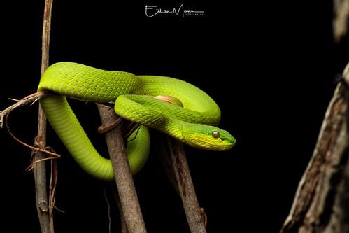 Lesser Sunda Pit Viper (Trimeresurus insularis) | Rinca Island