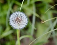 Dandelion (Nagarjun) Tags: flowers spring kashmir srinagar pahalgam tulips colour macro jk