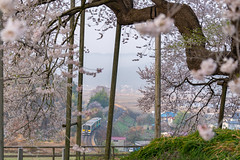 SAKURA 2018 #9 (applephoto*) Tags: 戸津辺の桜 桜 福島県 一本桜 鉄道 cherryblossoms fukushima totsubecherrytree railway landscape japan 2018