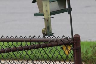 #backyardbirds  Waunakee WI  15 May 2018 Unedited photo's