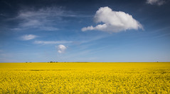 Fields of Gold (pjbranchflower) Tags: acol england unitedkingdom gb rapeseed field spring colour kent yellow cloud sky