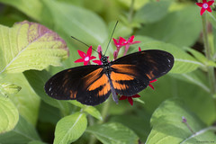 Butterfly 2018-28 (michaelramsdell1967) Tags: butterfly butterflies animal animals insect insects macro green black orange bug bugs vivid vibrant wing wings beauty beautiful pretty lovely flower spring fragile delicate upclose closeup garden color colorful zen