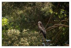 Red Kite in Tree (P_M_G) Tags: redkite bird wildlife nature berkshire birdofprey raptor canonef100400mmf4556lisiiusm canon80d finchampstead