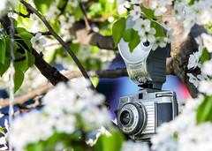 Cameraflage (jah32) Tags: camera cameras vintagecameras bella44 flash trees tree white frame framing miniaturejapanesepeartree silver inthefrontyard