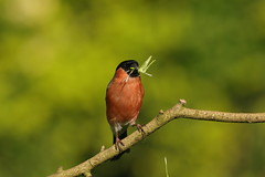 bullfinch (simonrowlands) Tags: bullfinch pyrrhula mixed woods parks gardens pairs or small flocks seeds