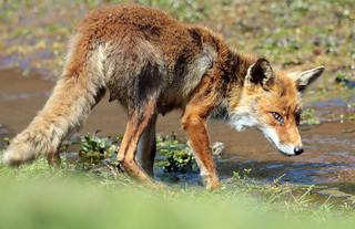 red fox awd BB2A3640