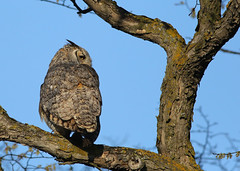 Great Horned Owl...#8 (Guy Lichter Photography - 3.9M views Thank you) Tags: owlgreathorned canon 5d3 canada manitoba winnipeg wildlife animal animals bird birds owl owls male