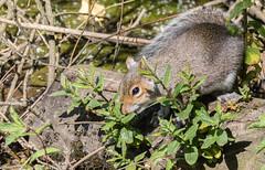 9Q6A2621 (2) (Alinbidford) Tags: alancurtis alinbidford brandonmarsh greysquirrel nature wildlife