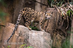 DSC08293 (montusurf) Tags: zoosofnorthamerica houston zoo clouded leopard cat feline texas