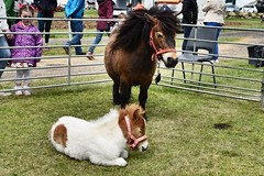 BA Vintage Country Fair - Aberdeen Scotland - 20/5/2018 (DanoAberdeen) Tags: babyshetland pony shetlandpony bavintagecountryfair candid amateur aberdeen aberdeenscotland scottishcountryside countryside 2018 danoaberdeen metallicobjects heavymetal transport bluesky scottish scotch gala festival fair event abz abdn summer autumn winter spring clouds nikond750 haulage grampian outdoors public tractor farm farming scotland dunecht show tractors farmmachinery diesel engine charity northeast classic vintage agriculture freshair truck truckfest farmwork gathering recent museum rare hgv lgv v6 v8 v12 loved collection baevents bastores