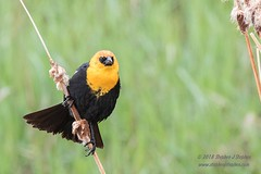 Yellow-Headed Blackbird (Stephen J Stephen) Tags: avian blackbird britishcolumbia britishcolumbiabirdingtrip2018 douglaslakeranch mainland merritt rain raining spring yellowheadedblackbird