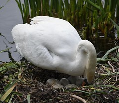 Mute Swan attending Her Eggs (Zooman2009) Tags: bird life