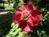 (Tölgyesi Kata) Tags: paeony paeonia bazsarózsa withcanonpowershota620 botanicalgarden füvészkert budapest botanikuskert peony pfingstrosen blossom fleur virág tavasz spring redflower
