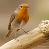 Robin with food (John Thirkell) Tags: wild life wildlife bird birds free nature robin red breast food feed feeding meal