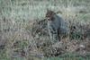 _MG_7629.jpg (Hans Van Loy) Tags: carnivora dieren gewervelden katten roofdieren wildekat zoogdieren