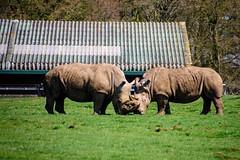 White Rhino (nickym6274) Tags: whipsnade zslwhipsnadezoo dunstable uk whiterhino rhinoceros rhino ceratotheriumsimum southafrica grass
