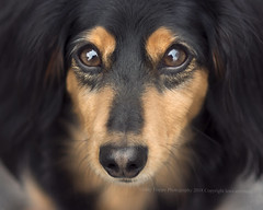 What a face (dog ma) Tags: drake mini long haired dachshund black tan pet portrait dog ma jodytrappephotography nikon d750 nikkor 85mm up close cute adorable outside outdoors