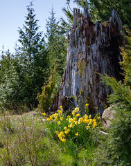 Flowers of Spring (Roshine Photography) Tags: hornbyislandlodgeretreat stump cvps denmanisland daffodils britishcolumbia canada ca garden flower sky treetrunk grass tree wood