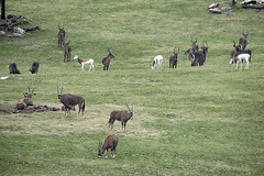 ♪♪ What a wonderful world ♪ (ucumari photography) Tags: ucumariphotography africanplains nc north carolina zoo animal mammal may 2018 dsc5817 specanimal