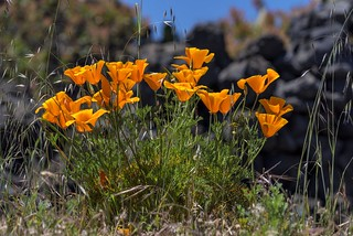 *Canary gold poppies*